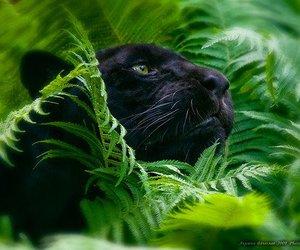 animal, panther, and black image