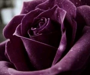 nature, puple, and rose image