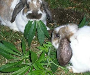 rabbit, marijuana, and bunny image