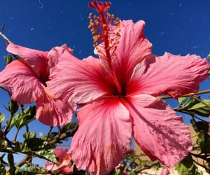 beauty, hibiscus, and bluesky  image