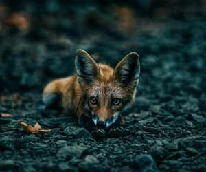 animals, fox, and inspiration image