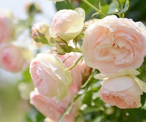 colours, glorious, and roses image