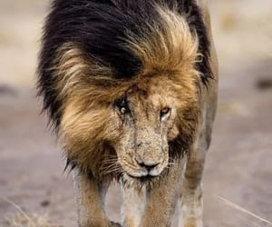 шрам король лев image