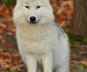 Animales, lobo, and naturaleza image