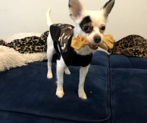 chihuahua, white, and dog image