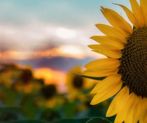 flower, hearts, and sunflower image