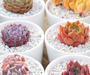 plants, succulent, and succulents image