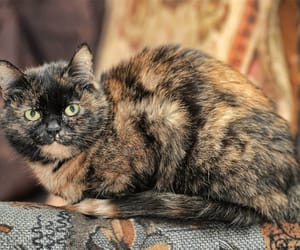 tortoiseshell cats and tortoiseshell cats breeds image