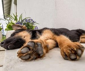 german shepherd puppies image