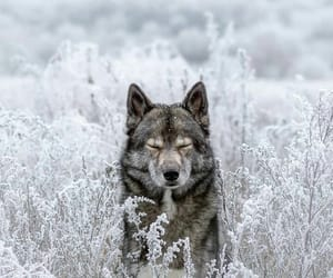 winter, wolf, and forest image