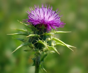natural beauty, natural remedies, and milk thistle image