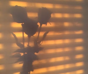 rose and shadow image