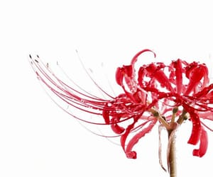 red and spider lily image