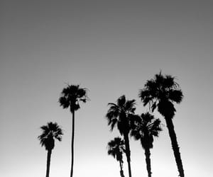 black and white, california, and palm tree image