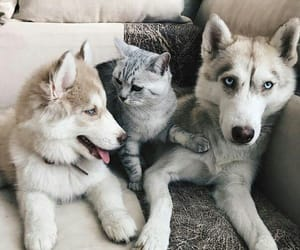 animals, husky, and puppy image