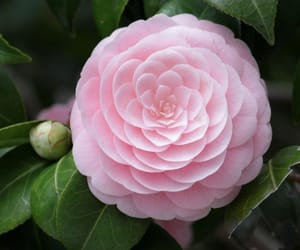 pink camellia and nature is geometric image