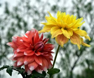 bikaner., a view of dahlia flowers, and seen at garden image