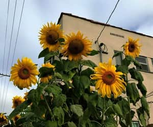 canada, flower, and sunflower image