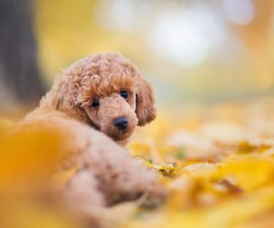 backlighting, beautiful dog, and poodle cute styled image