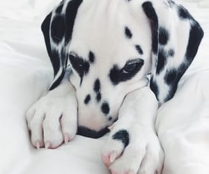 adorable, beautiful, and dalmatian image
