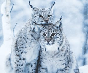 animals, lynx, and nature image