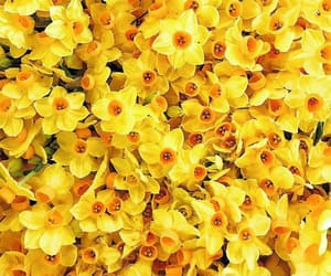 daffodils, flowers, and yellow image