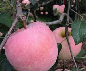 apple, pink, and fruit image