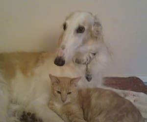 cat and borzoi image