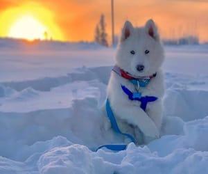animals, dog, and husky image