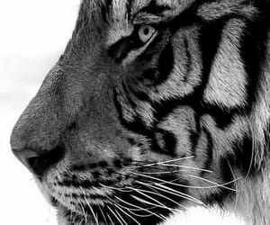 tiger, animal, and beautiful image