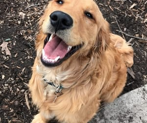 dog, golden retriever, and happy image