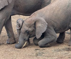 baby elephant and affectionate sister image