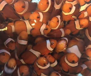 animals, finding nemo, and clown fish image