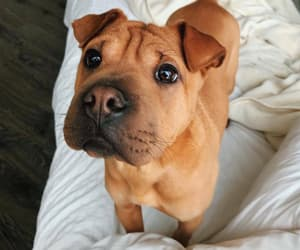 brown, puppy, and cutie image