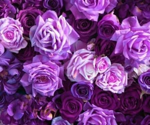 purple, roses, and flowers image