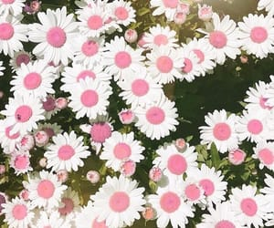 daisies, flowers, and pink image