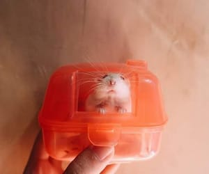 animal, fat hamster, and cute image