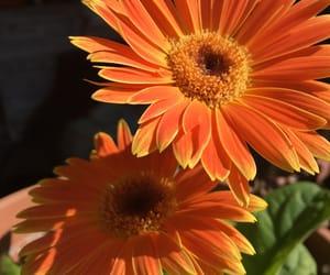 flower, nature, and orange image