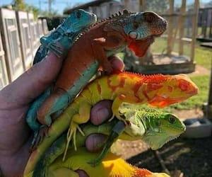 animal and iguanas image
