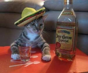 cat, funny, and tequila image