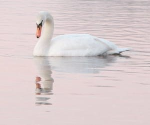 Swan, animal, and pink image