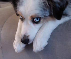 blueeyes, pet, and dog image