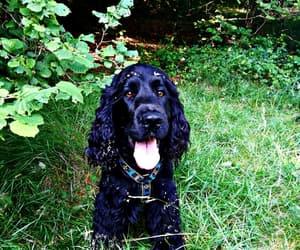 black, cocker, and dog image