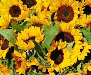 sunflower and yellow image
