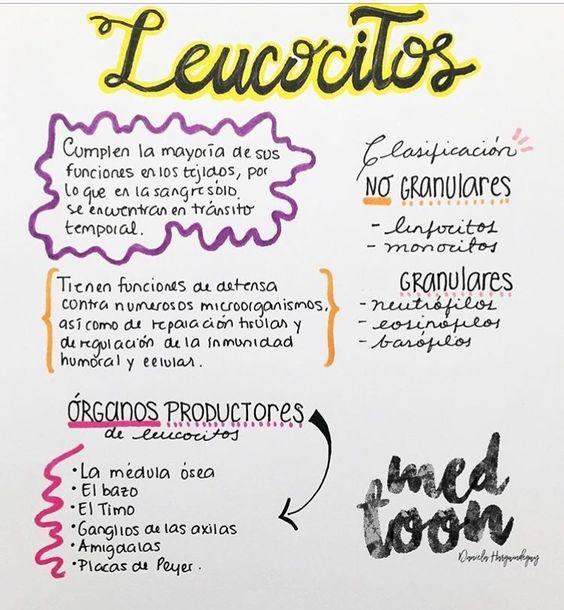 Que son los leucocitos y su funcion