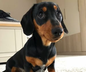animals, pets, and dachshund image