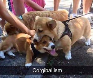 corgi, funny, and puppy image