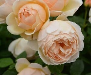 beautiful, gardening, and rose garden image