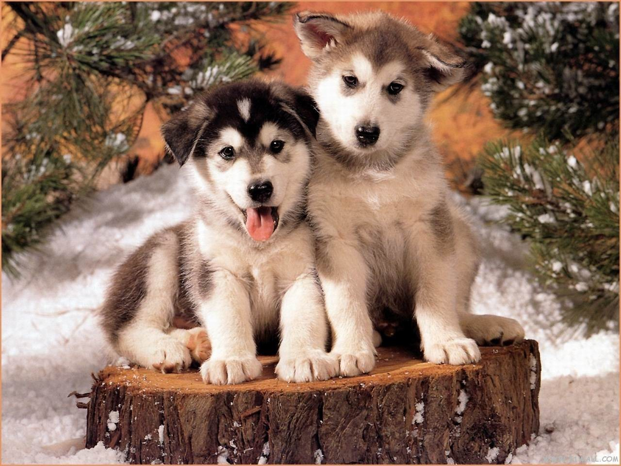 Husky Christmas Puppy.Image About Dog In Love Animals By Isabella On We Heart It