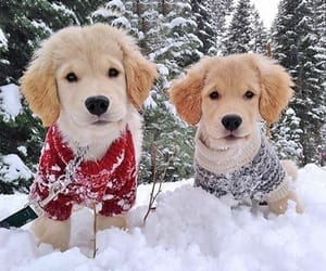 adorable, dogs, and golden retrievers image